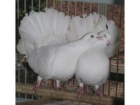 Private Fantail Dove Seller - Birdtrader