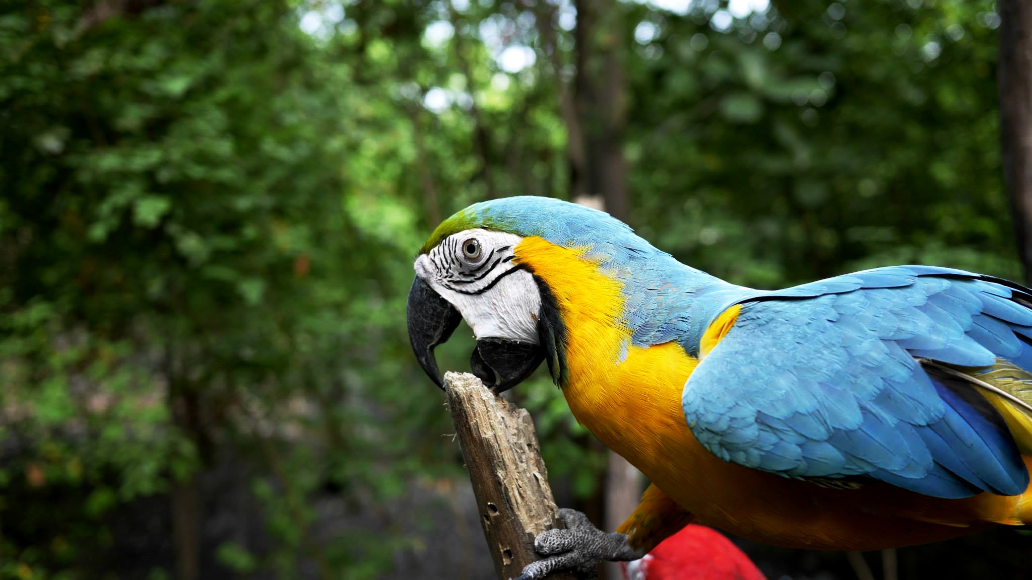 Parrots for sale around the UK